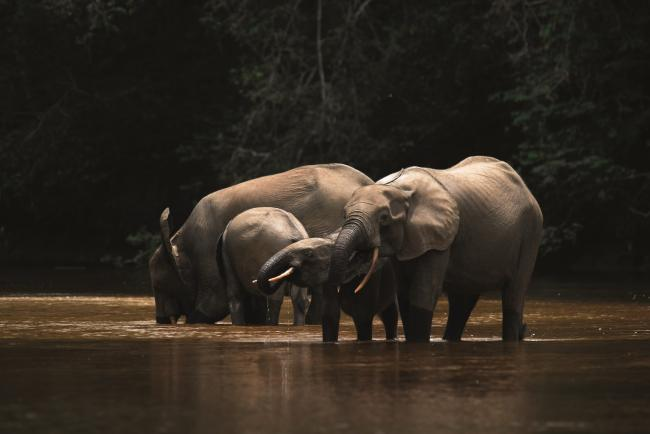 A family of forest elephants – Picture supplied by the University of Stirling and courtesy of Malcolm Starkey