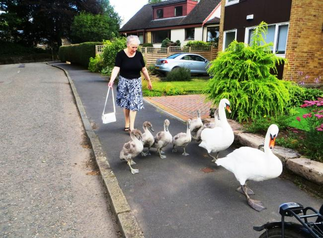 A Dunblane lady safely guided the swans home